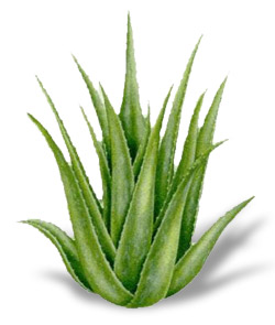 http://www.keepflowers.ru/wp-content/uploads/2008/12/aloe2.jpg