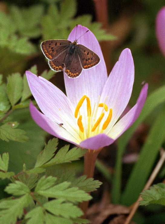 Saffron crocus flower: crocus bulbs, growing saffron bulbs ...